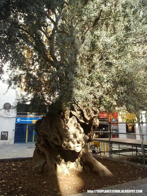 Olivo de Pollença en Palma de Mallorca